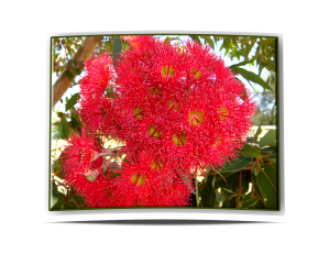 redfloweringgum